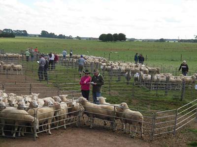 Chrome Sheep Studs Sale News