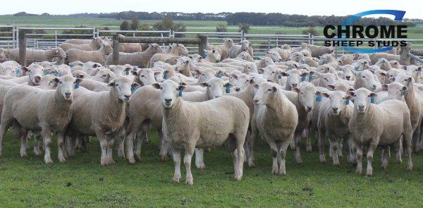Chrome Chromedale Sale Rams