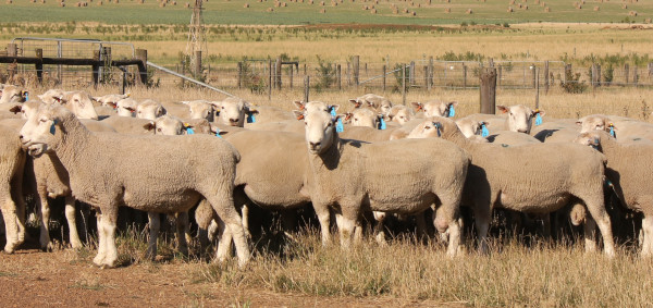 Chrome Chromedale Sale Rams