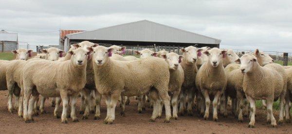Chrome Coopworth Sheep Genetics