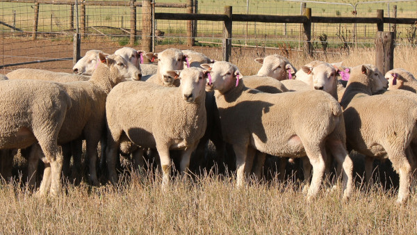 Chrome Coopworth Sale Rams