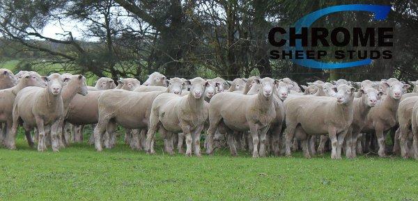 Chrome Poll Dorset Sheep Genetics