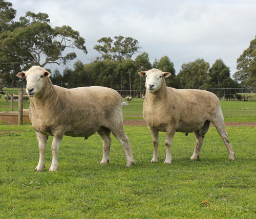 Chrome Maternal Rams