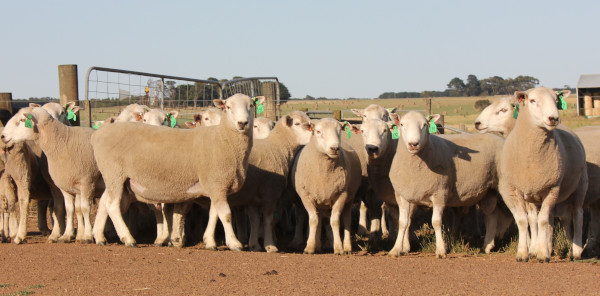 Chrome Perendale Sale Rams