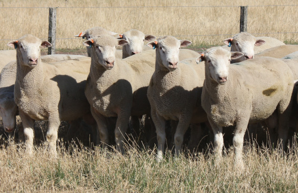 Chrome Poll Dorset Sale Rams