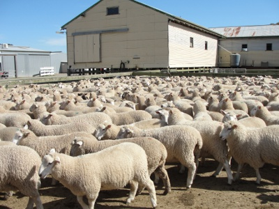 Sale Lambs bred from Chrome Genetics