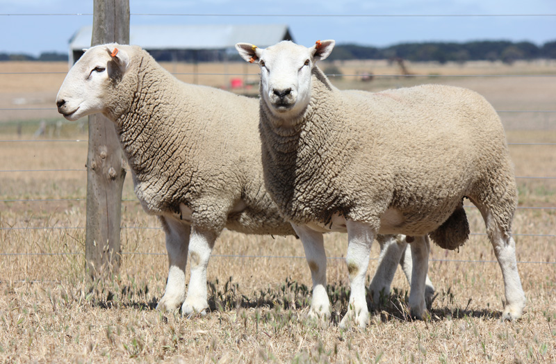Chrome Perendale Sheep Genetics